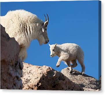 Canvas Print featuring the photograph Baby Steps by Jim Garrison