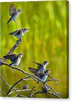 Baby Tree Swallows Feeding #1 Canvas Print by John Stoj