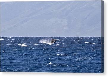 Baby Whale Breach Canvas Print by Chris Ann Wiggins