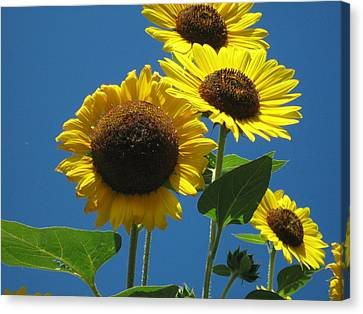 Canvas Print featuring the photograph Back Bay Sunflowers by Bruce Carpenter