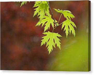 Backlit Maple Leaves On A Branch Canvas Print by Greg Dale