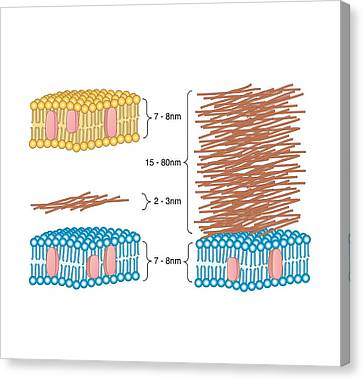 Bacterial Cell Wall Comparison, Artwork Canvas Print by Peter Gardiner