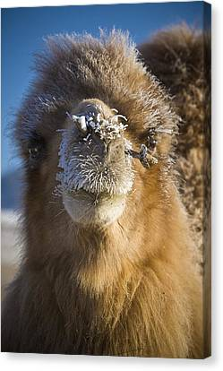 Bactrian Camel Camelus Bactrianus Canvas Print by David DuChemin
