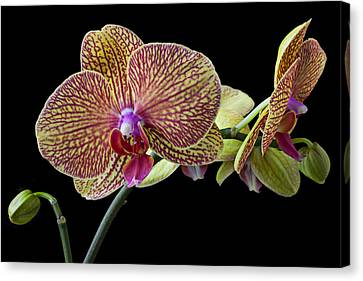 Baeutiful Orchids Canvas Print by Garry Gay
