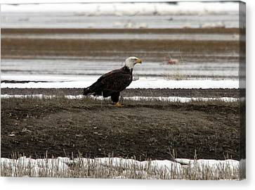 Bald Eagle - 0120 Canvas Print by S and S Photo