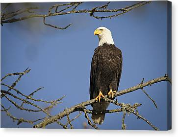 Bald Eagle Canvas Print by Bruce McCammon