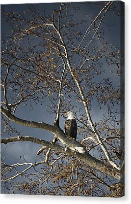 Bald Eagle In A Tree Canvas Print by Con Tanasiuk