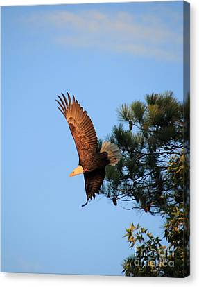 Bald Eagle Liftoff Canvas Print by Ursula Lawrence