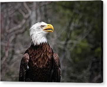 Bald Eagle Canvas Print by Sandra Anderson