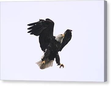 Canvas Print featuring the photograph Bald Eagle Tallons Open by Kym Backland
