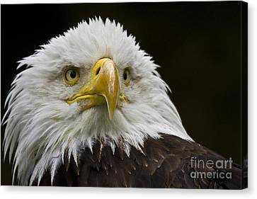 Bald Eagle The American Icon - 2 Canvas Print