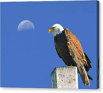 Bald Eagle With The Moon Canvas Print