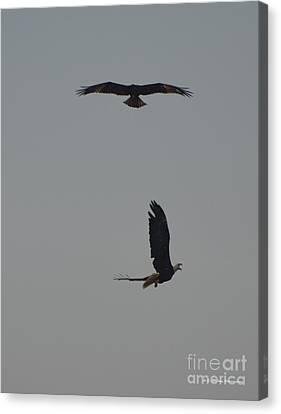 Bald Eagles Canvas Print