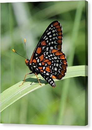 Baltimore Checkerspot Butterfly With Wings Folded Canvas Print by Doris Potter