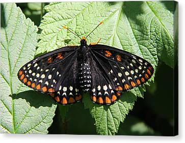 Baltimore Checkerspot Butterfly With Wings Spread Canvas Print by Doris Potter