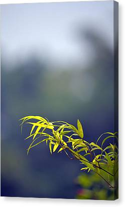 Bamboo Blue Canvas Print by Ku Azhar Ku Saud