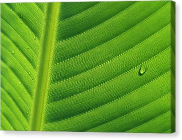 Banana Musa Sp Close Up Of Leaf Canvas Print by Cyril Ruoso