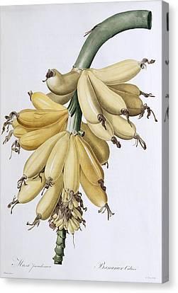 Banana Canvas Print by Pierre Joseph Redoute