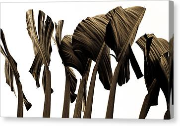 Banana Tree Leafs Canvas Print by Atom Crawford