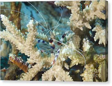 Banded Coral Shrimp Amongst Staghorn Canvas Print by Steve Jones