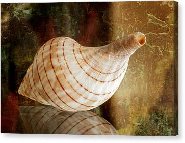 Banded Tulip Seashell Canvas Print by Bonnie Barry