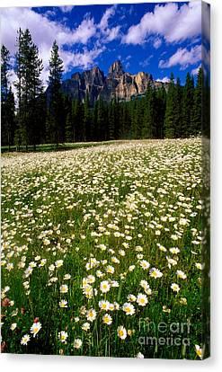 Banff - Castle Mountain Daisies Canvas Print by Terry Elniski