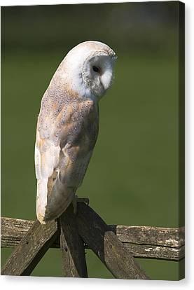 Gatepost Canvas Print - Barn Owl by Denise Swanson