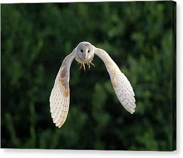 Barn Owl Flying Canvas Print by Tony McLean