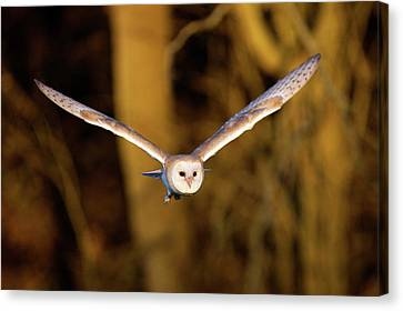 Barn Owl In Flight Canvas Print by MarkBridger