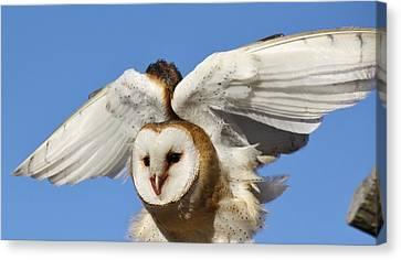 Barn Owl In Flight Canvas Print by Paulette Thomas