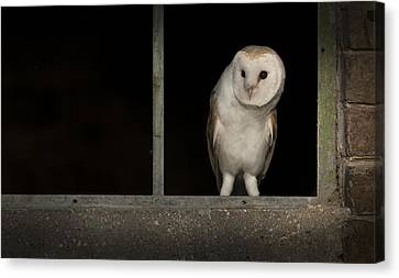 Barn Owl In Window Canvas Print by Andy Astbury