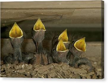Hirundo Canvas Print - Barn Swallow Hirundo Rustica Chicks by Cyril Ruoso