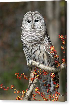 Barred Owl And Bittersweet Canvas Print by Cindy Lindow