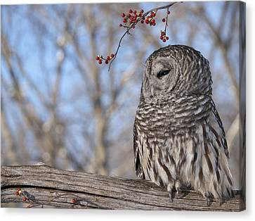 Barred Owl And Red Berries Canvas Print by Cindy Lindow