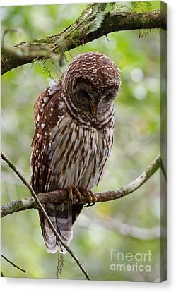 Barred Owl Canvas Print by Joe Elliott