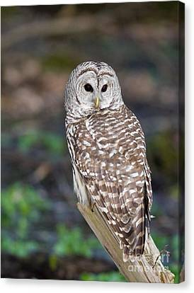 Canvas Print featuring the photograph Barred Owl by Les Palenik
