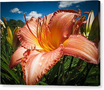 Basking In The Sunlight - Peach Colored Lily In A Flower Garden On A Hot Summer Day Canvas Print by Chantal PhotoPix