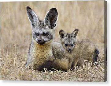 Bat Eared Fox Parent And Pup Masai Mara Canvas Print by Suzi Eszterhas