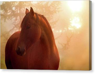 Bay Horse In Fog At Sunrise Canvas Print