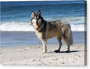 Beach Husky Canvas Print by Renae Laughner