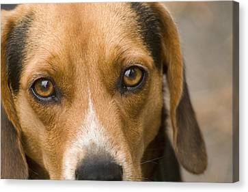 Beagle Hound Dog Eyes Of Love Canvas Print by Kathy Clark