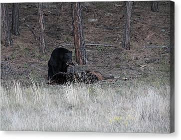 Bear Eating An Elk Canvas Print by David Wilkinson