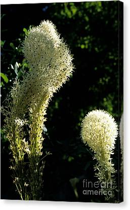 Bear-grass I Canvas Print by Sharon Elliott