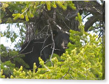 Bear In A Tree Canvas Print by Charles Warren
