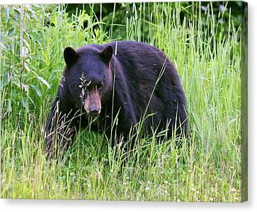 Bear On The Hillside Canvas Print by Myrna Bradshaw