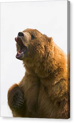 Bear With Tongue Out Of Mouth Canvas Print by Carson Ganci