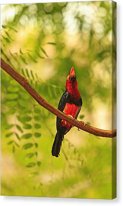 Bearded Barbet Canvas Print by Stuart Westmorland