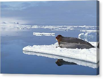 Bearded Seal Resting On Ice Floe Norway Canvas Print by Flip Nicklin