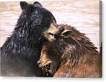 Bears In Water Canvas Print by Carson Ganci