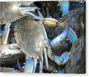 Beaufort Blue Crabs Canvas Print by Patricia Greer